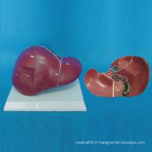 Modèle médical d'anatomie du foie humain (R100103)
