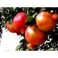 Punicalagin / Extracto de Peeling de Granada / Pomergranate Polifenoles / Extracto de Casco de Pomergranate / Ácido Elágico