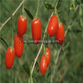 Red lycium LP Goji berry