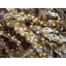 Bladder Wrack Extract - Kelp Brown Algae