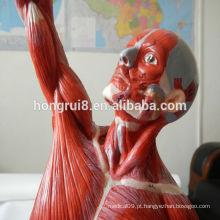 HOT SALE avançou exatamente os músculos masculinos anatômicos