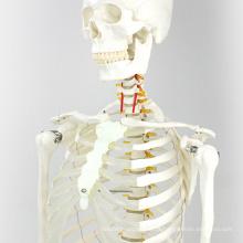 SKELETON01 (12361) Medical Anatomia Médica tamanho 170cm Esqueleto Médica Modelos Anatômicos