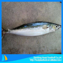 sully Various sizes frozen mackerel fish hot sale in market with low price