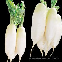 New Crop Chinese Radish For Wholesale Top Grade Healthy And Natural Radish