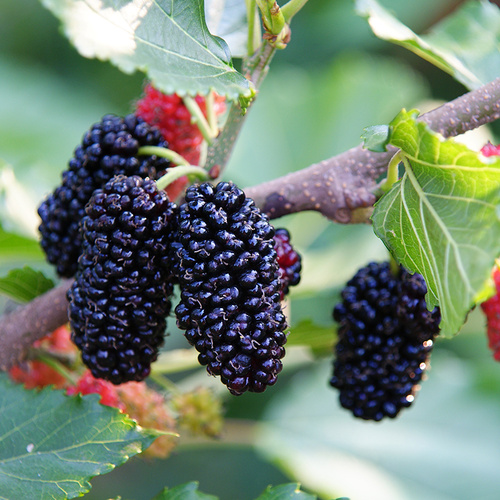 Delicious and nutrition fruit snack mulberry Hot sale