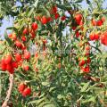 Sun Dried Goji berries in farm