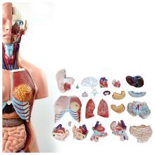 TORSO07 (12018) Modelo de Educação Escolar 85CM Tronco Humano Unisex 23 Peças, face Feminina, Modelo Anatômico Humano