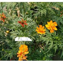 S205 Liu hua ju Wholesale Factory Supply Hot Sale Cosmos Sulphureus