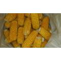Fournir la haute qualité du maïs doux