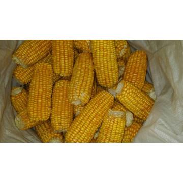 Fournir de haute qualité de maïs sucré