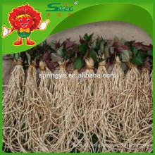 High Quality Natural Heartleaf houttuynia cordata thunb