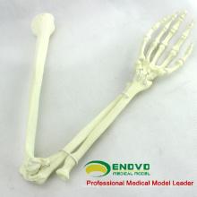 GROSSHANDEL SIMULATION KNOCHEN 12325 Medizinische Anatomie Künstliche Obere Gliedmaßen Knochen, Orthopädie Praxis Simulation Knochen
