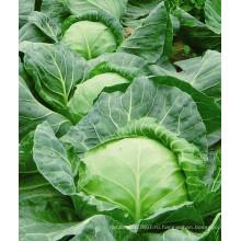 HC03 район гуаньду теплостойкий,круглый темно-зеленый гибрид F1 семена капусты