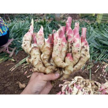 Exportstandards New Crop Ginger