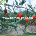 Venta al por mayor Fruit Diet Eu Standard Goji Berries