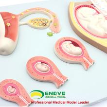 SELL 12453 développement embryonnaire Modèle de processus de non fécondé Ovum 9
