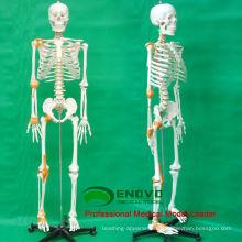 SKELETON09 (12370) Medical Science 180 Humains Squelette Modèle w / Ligament Mâle Femelle En Option 12370