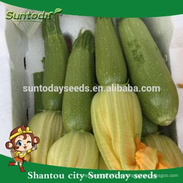 Suntoday híbrido vegetal asiático NON GMO F1 calabaza verde claro orgánico japonés calabaza semillas de Kabocha (17011)