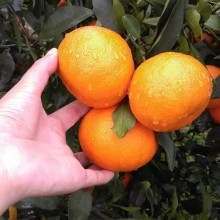 Fresh oranges in china