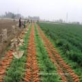 2016 Fresh Carrots S/M Size on Sale
