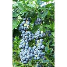 IQF congelación orgánica Blueberry Zl-1020 1