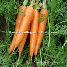 Erstklassige Karotte