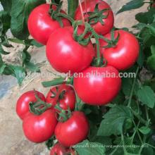 Т32 Мейте F1 гибрид теплиц детерминантный томат семена, китайские семена овощных культур