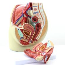 ANATOMY02 (12440) Körpergröße Beckengröße Anatomisches Modell, 3-teilig, Anatomie Modelle> Männliche / weibliche Models> Weibliche Models
