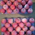 New Crop Qinguan Apple Is Coming