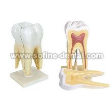 Modelo de dientes humanos