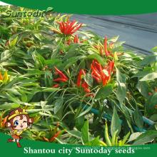 Suntoday légumes F1 organique jusqu'à l'agriculture comestible et non comestible semences semences de piment graines de piment fort (21001)