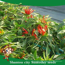 Suntoday vegetable F1 Organic up edible and non edible agriculture seed companies hot pepper chilli seeds(21001)