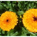 Hot sale small French marigold seeds