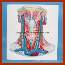 Modèle de démonstration de navire à couteau anatomique Vivid Human Anatomy