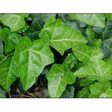 Chinese Ivy Stem Extract With Hederacoside C>10%