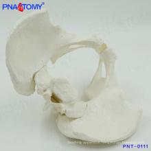 PNT-0111 Medical teaching male skeletal pelvis model
