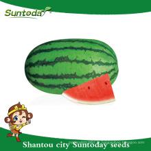 Suntoday oblongo pista verde vegetal híbrido F1 orgânica vermelho melancia carmesim sementes doces plantador reprodutor sudão