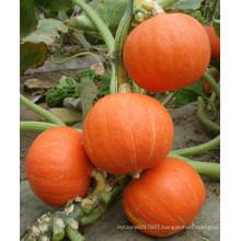 HPU05 Zhiji round orange F1 hybrid pumpkin seeds