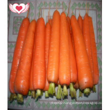 Hot Sale 2016 Fresh Carrots in Middle East Country