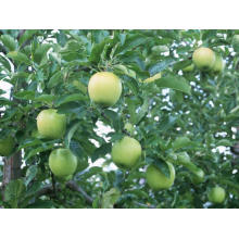 Apple Root Extract Decreasing Organ Fat