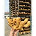 Chinês comum Cultivo Fresco gengibre rizoma