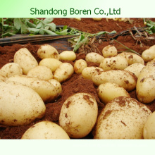 2015 New Farm Fresh Yellow Potato (China)
