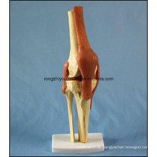 Menschliches anatomisches Kniegelenkmodell mit Bändern mit Ce / TUV Zertifikat