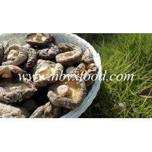Stemless Smooth Cap secado Shiitake Mushroom