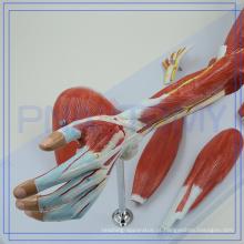 Modelo anactomical de alta qualidade PNT-0331 do braço dos músculos para venda