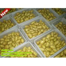 New Fresh Farm Chinese Potato (hot! hot!!)