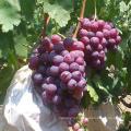 buy fresh grape in paper bag import red grape export