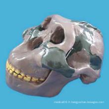 Recherche médicale Orr Literati Skull Head Skeleton Anatomy Model