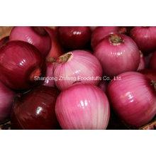 Oignon rouge frais dans la province de Shandong