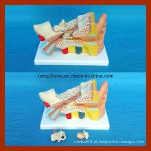 Anatomia humana 2 vezes grande modelo de orelha (3 PCS)